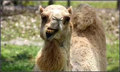 proverbi satira detti arabo italiano cultura cammello